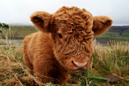http://www.fourjandals.com/europe/cute-highland-cow-calf-weekly-hump-day-photo/