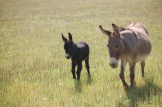 Donkeys At Church 042