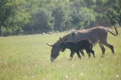 Donkeys At Church 068