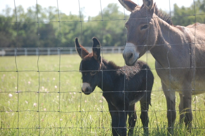 Donkeys At Church 099