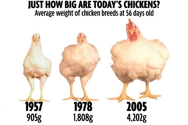 kfc chickens on steroids