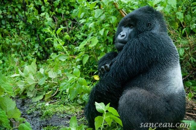 gorillas silver