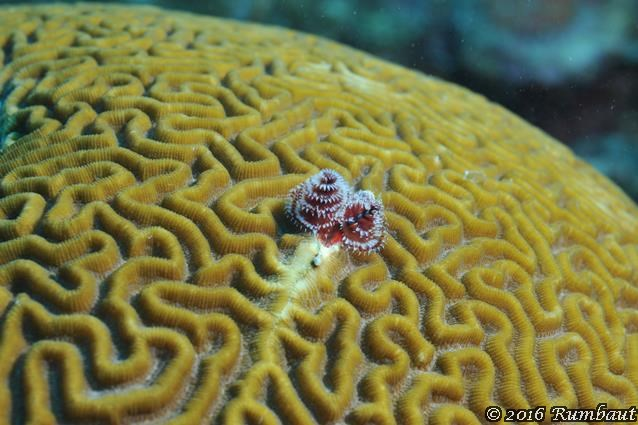 brain-coral-with-a-bristle-worm